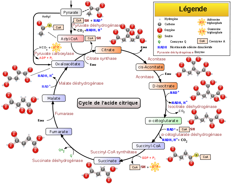 The Krebs cycle is a complex metabolic process. © Narayanese, WikiUserPedia, YassineMrabet, TotoBaggins, Wikimedia, CC by-sa 3.0