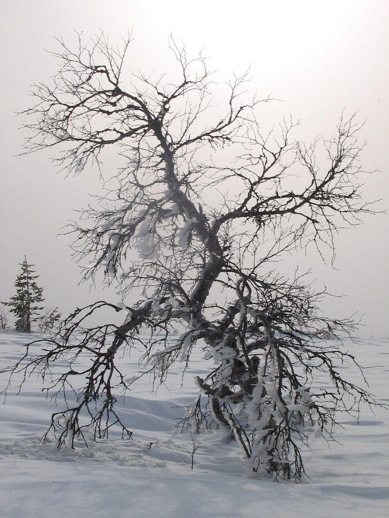 The downy birch. © Linek, Flickr 3.0