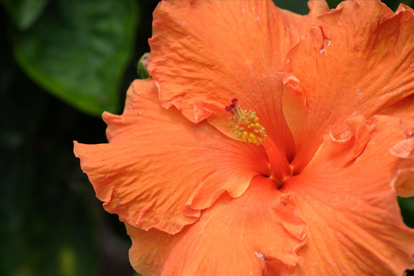 The Chinese hibiscus, a shrub in the Malvaceae family. © van swearingen, Flickr CC by nc-sa 2.0