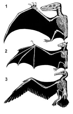 Homologous wings of the pterosaur (1), bat (2), and bird (3) are the consequence of convergent evolution. © John Romanes, public domain