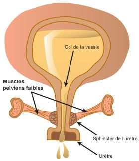 The urethra leaves the bladder and carries urine to the urinary meatus. © www.aupetitcoin.ca
