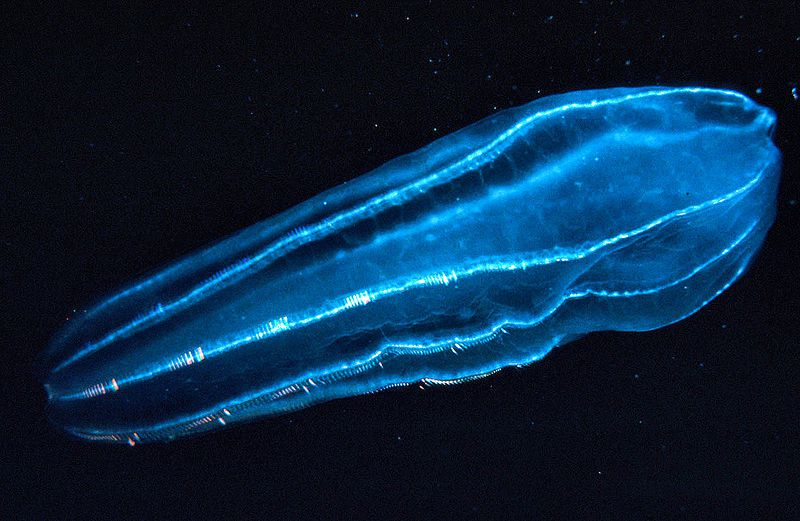 Beroidae, a type of zooplankton. Credits: DR