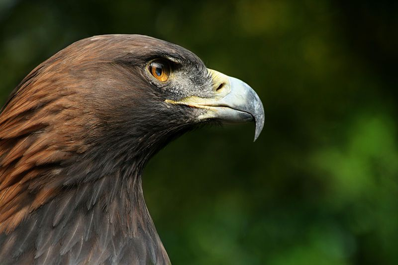 The royal eagle is listed in Annex I of the Birds Directive. © Richard Bartz, Wikipedia, cc by sa 2.5