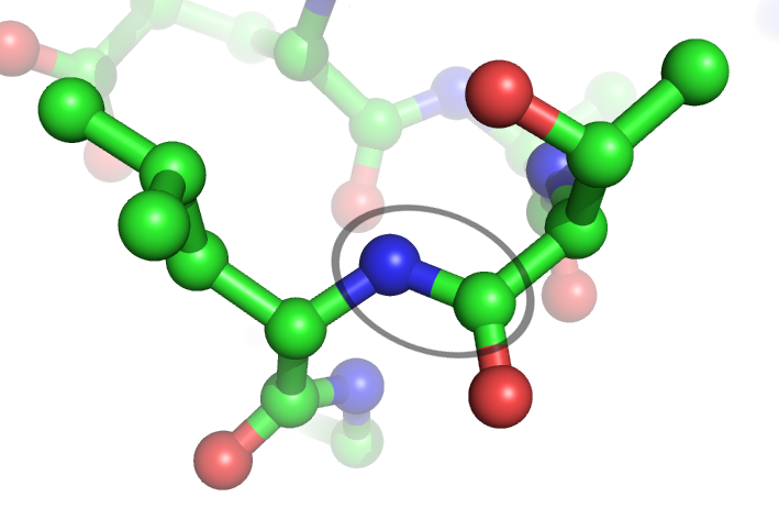 Peptide bonds (between a nitrogen in blue and a carbon in green) are hydrolysed by proteases. © Webridge, Wikimedia, CC by-sa 3.0