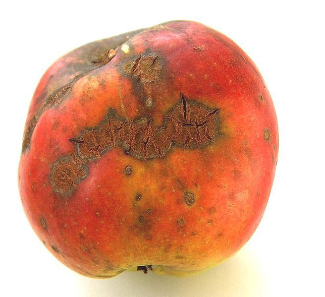 Apple scab can be identified by the brown spots and deformation of the fruit. © Markus Hagenlocher, Wikipedia, CC BY-SA 3.0