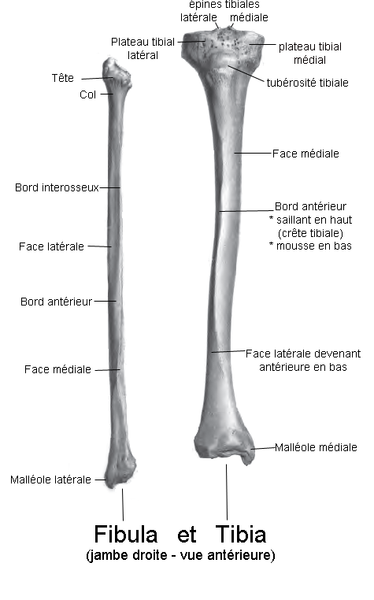The fibula and tibia are parallel bones in the leg. © Bérichard, Wikimedia, CC by-sa 3.0