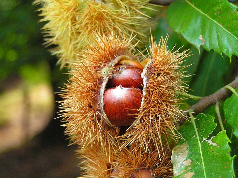 Several chestnuts are contained in the same burr, otherwise it is a horse chestnut. © BenHur / Licence Creative Commons