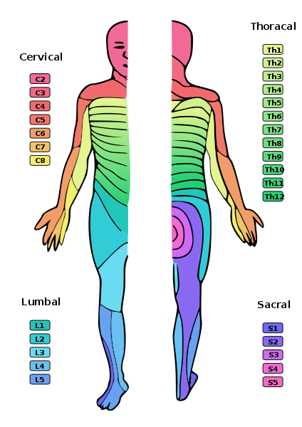 Map of the dermatomes of the human body. © Ralf Stephan, Wikimedia public domain