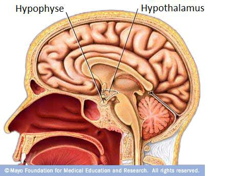 The hypothalamus is an endocrine gland, located in the brain which interacts closely with the pituitary. © Mayo