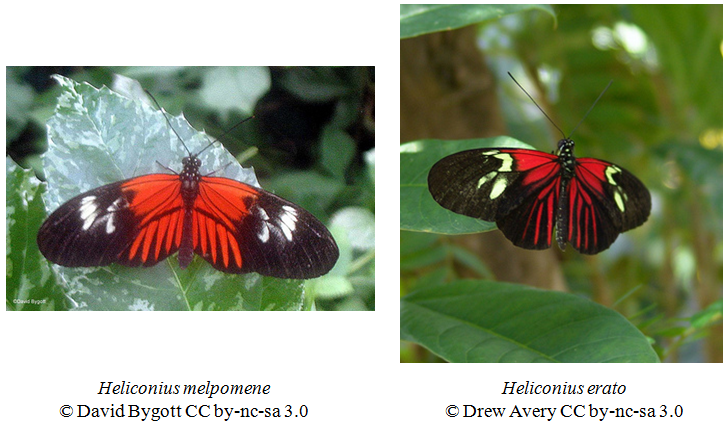 The tropical butterflies Heliconius melpomene and Heliconius erato are an example of Mullerian mimicry: both are toxic and look alike. © David Bygott and Drew Avery, Eol CC by-nc-sa 3.0