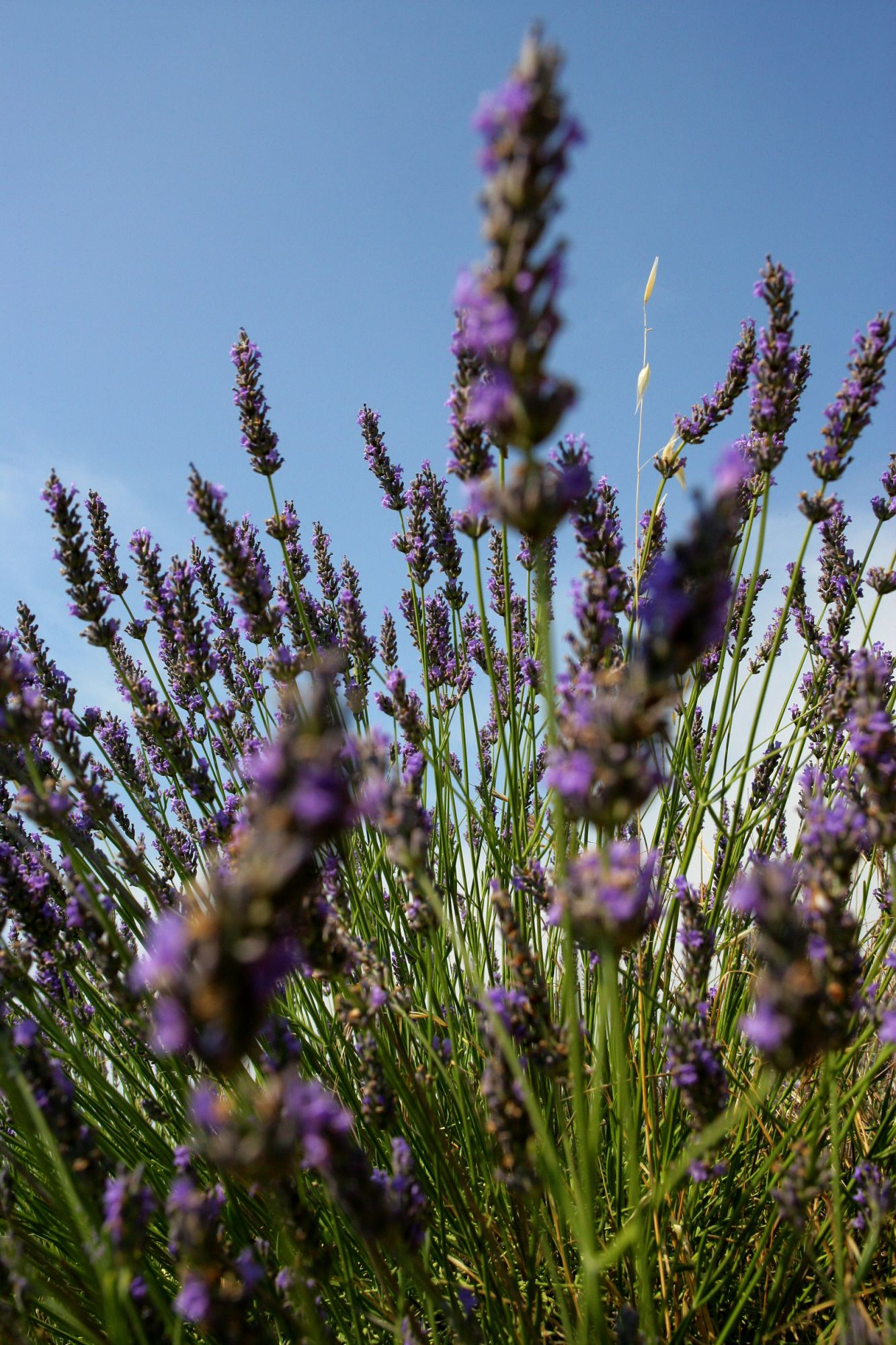 Lavender, a useful plant in the kitchen and in medicine. © Phovoir