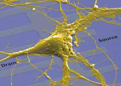 Rat neuron implanted in a linear network of transistors. (Credits: Max Planck Institute for Biochemistry; NACHIP; P.Fromherz)