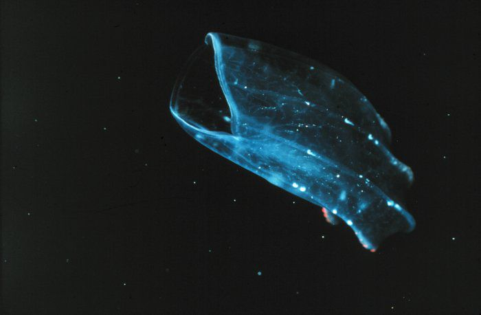 A Ctenophore. © NOAA/OAR/ National Undersea Research Program