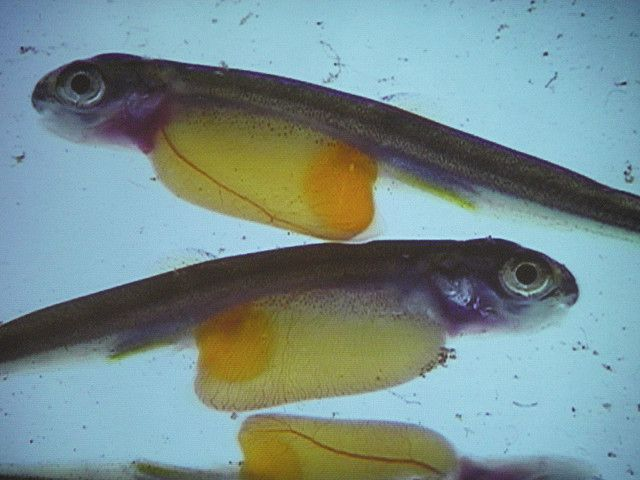 Salmon alevin still depend on their yolk sac (yellow pouch, under the stomach). © Earl Steele CC by-nc-nd 2.0