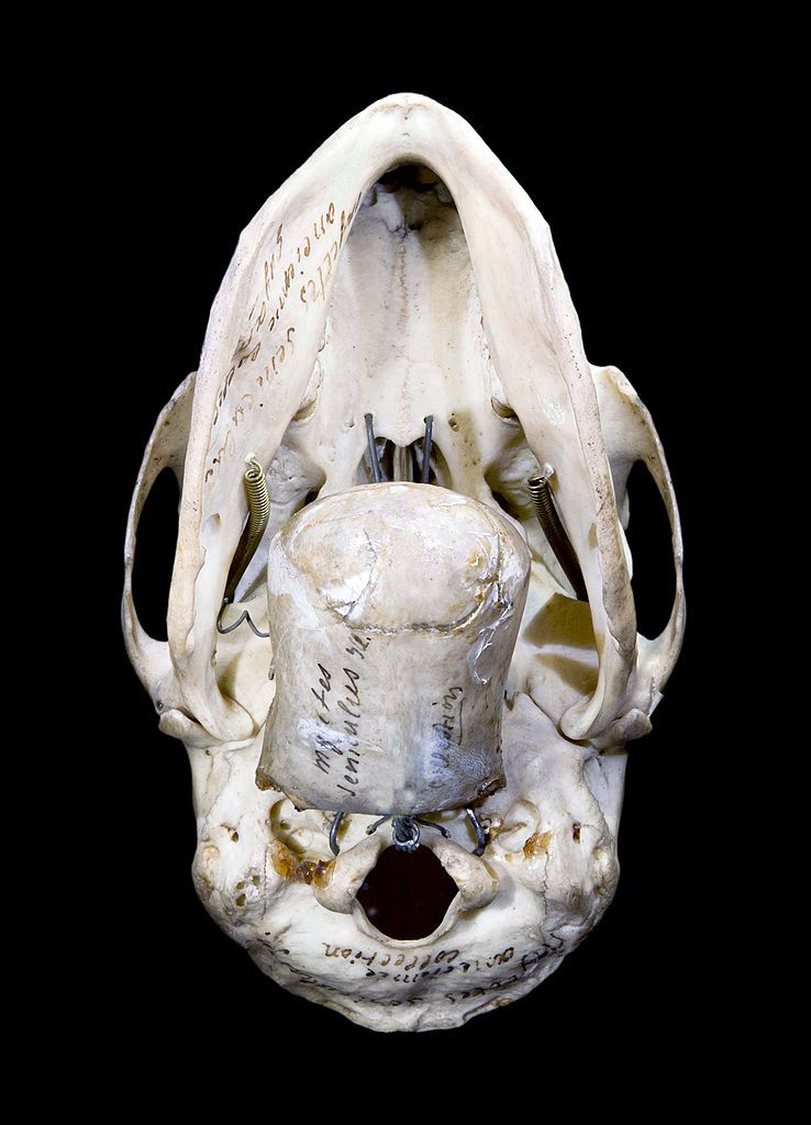 The hyoid is a neck bone. © Didier Descouens, Toulouse Museum, Wikipedia, cc by sa 2.0