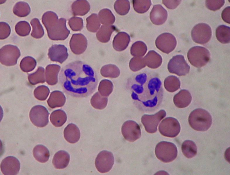 A granulocyte (here a neutrophil surrounded by red blood cells) has a polylobulated nucleus.  © Salvadorjo, Wikimedia, GFDL 1.2