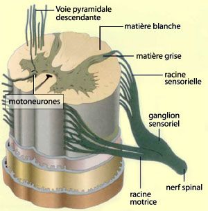 The spinal cord is part of the central nervous system and is an extension of the brain. © psychologie-m-fouchey.psyblogs.net