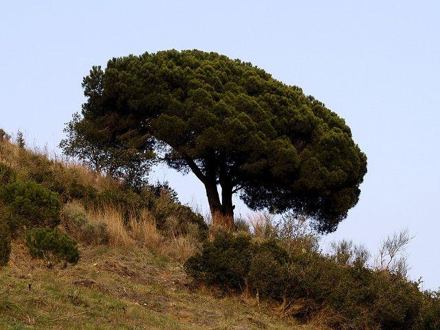 Parasol pine. © fturmog, Flickr CC by nc-sa 2.0