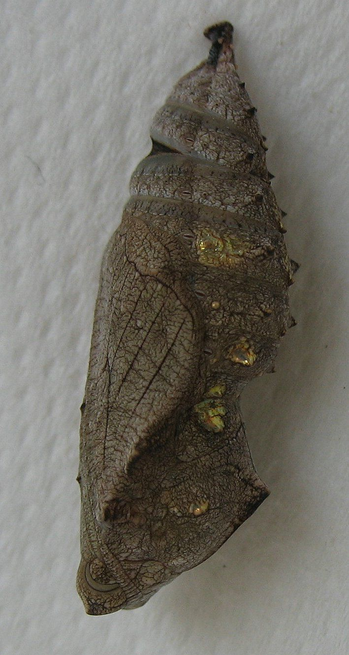 In butterflies nymphosis is called pupation. © esacademic.com