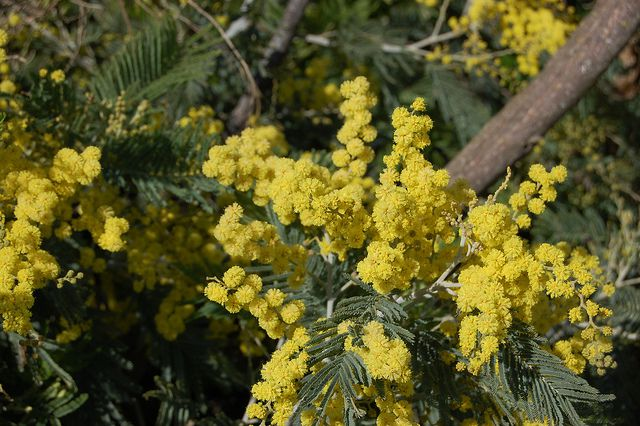 Mimosa flowers. © FarOutFlora, Flickr CC by nc-nd 2.0