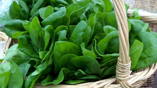 Spinach, a source of vitamin B9. DR Credits