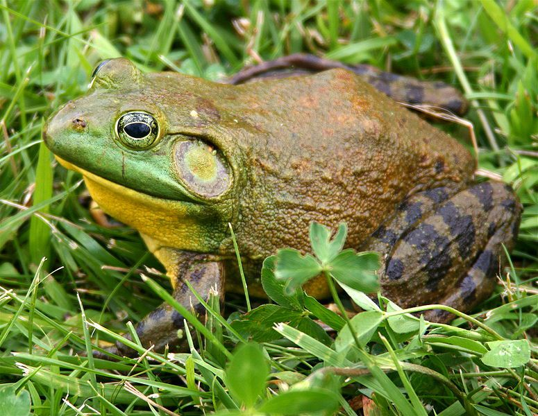 Photo of a bullfrog. © Carl D. Howe - licence Creative Commons Attribution Share alike terms 2.5 generic