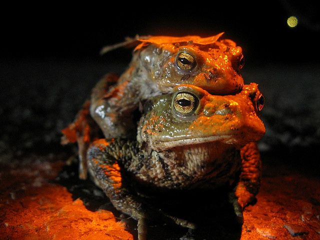 When toads (amplexus) mate, there is no penetration. Gametes are released into the environment, where fertilisation occurs. © PhOtOnQuAnTiQuE CC by-nc-nd 2.0