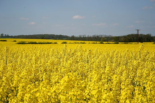 Monoculture of rapeseed. © ndrwfgg CC-by
