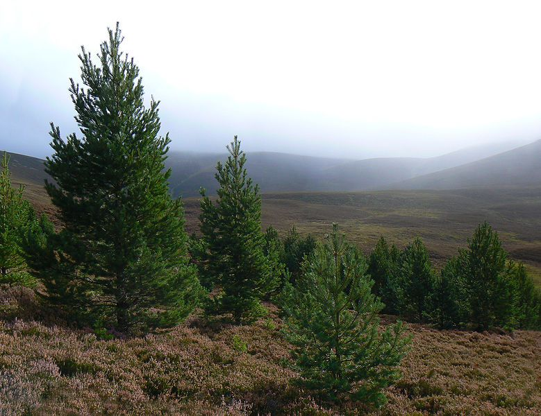 Pinus sylvestris, Monadh Mor - Beinn Bhrotain, Scotland. © Nick Bramhall Creative Commons Attribution-Share Alike 2.0 Generic license