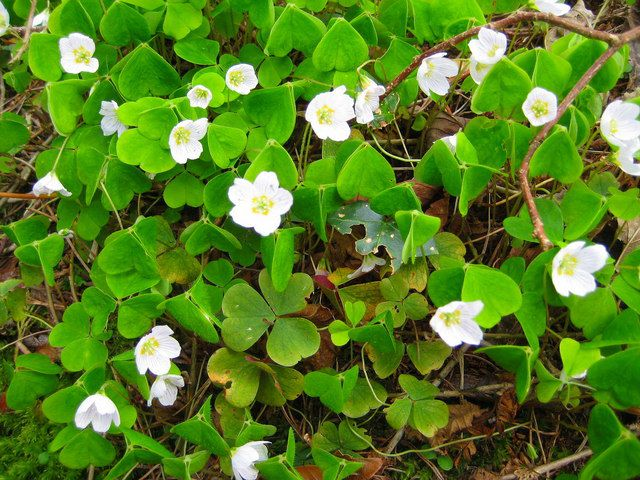 Sorrel flowers generally close at night. © Sarah Smith, Geograph CC by-sa 2.0