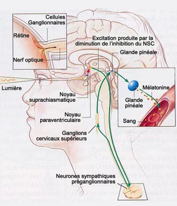 The Paraventricular Nucleus Is In The Brain. © Lecerveau Mcgill.ca