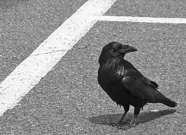 As comfortable in rural areas as it is in the city, the crow is an opportunistic bird. © Chris de Rham CC by-nc-nd 2.0