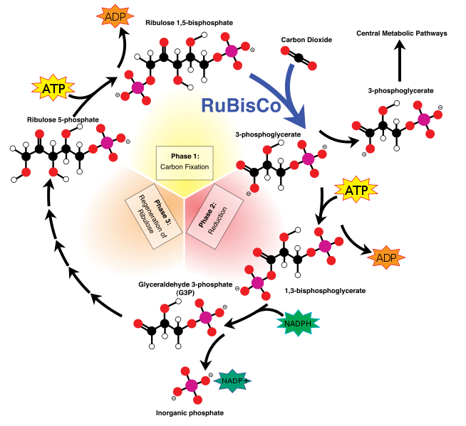 Plan of the Calvin cycle. © Mike Jones, Wikimedia CC by-sa 3.0
