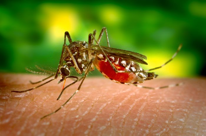 The vector for the yellow fever virus is the Aedes aegypti mosquito. © DR