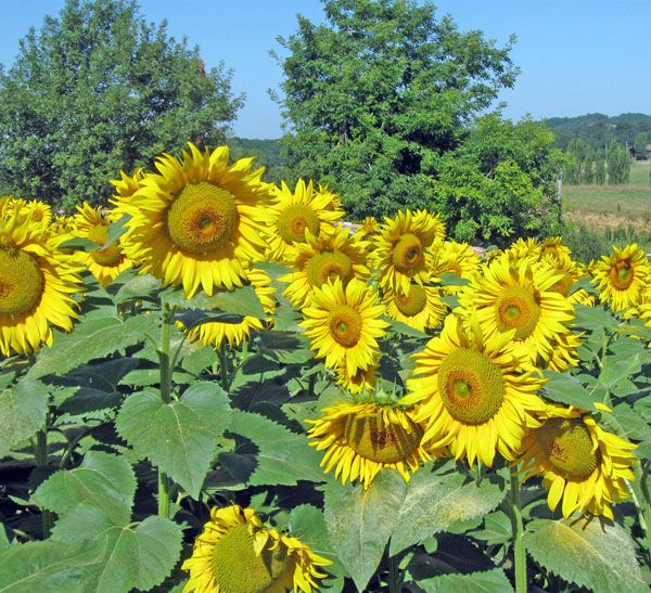 Sunflowers produce large quantities of oil-rich seeds. © Gc85, Wikimedia CC by-sa 3.0