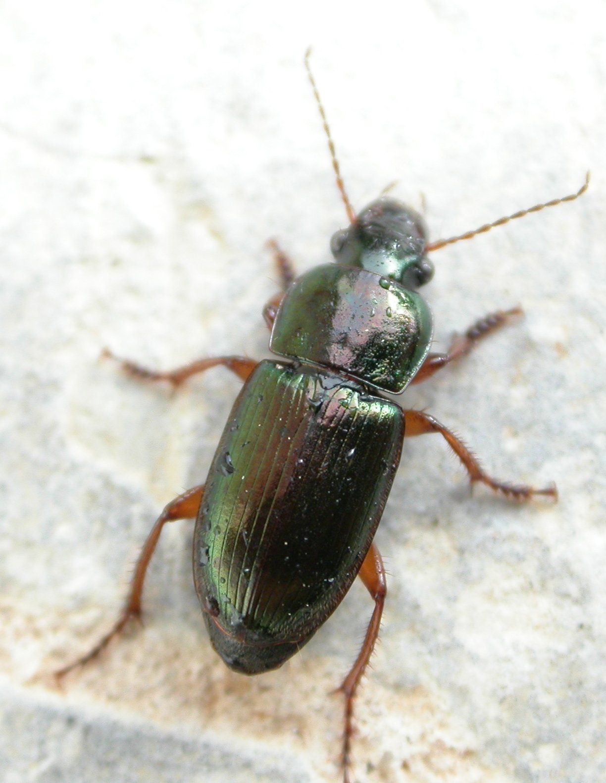 Harpalus affinis is a Carabidae. ©  Olivier, insecte.org, cc by nc 2.0
