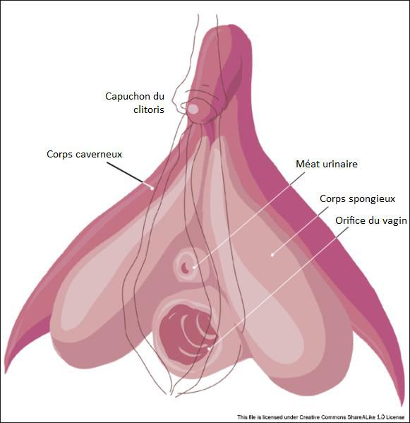 Among other parts, the vulva includes the clitoris, urethral meatus and vaginal opening. © Licence Creative Commons
