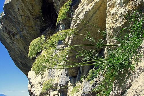 A cliff generally has microclimates influenced by the nature of the rock, the sunshine and the exposure of the cliff, and water reserves of the substrate. The north and south sides of a cliff generally have different flora for this reason. © *Pascal* CC by 2.0
