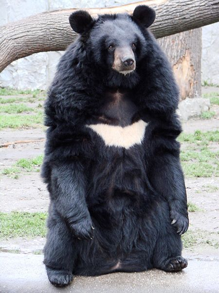 Photo of an Asian black bear. © Guérin Nicolas, GNU Free Documentation License, version 1.2