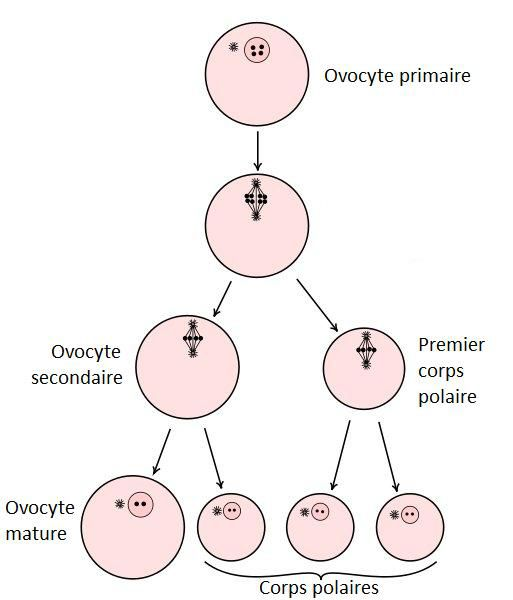Oogenesis leads to the production of two or three polar bodies. © DR