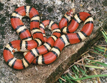 The false coral snake, which lives in America, looks like the coral snake and therefore uses aposematism. © BillC, Wikipedia, cc by sa 3.0