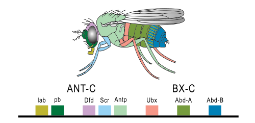 The Hox genes of the Drosophila and their correspondence with morphological parts of the fly. © PhiLiP, Wikimedia public domain