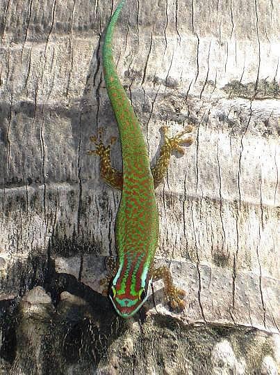 Reunion Island ornate day gecko. Photo credits: Mickaël Sanchez / Nature Océan Indien