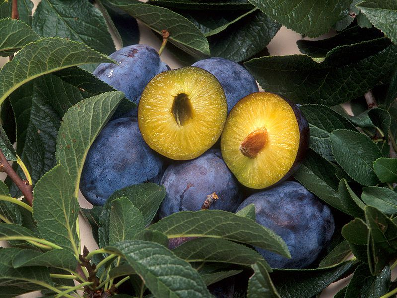 Damsons are violet plums that contain sorbitol. © DR