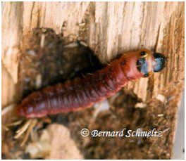 The mandibles of caterpillars, which are used to gnaw on wood, are made of sclerotin. © Bernard Schmeltz