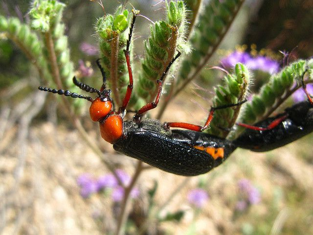 This beetle (Lytta magister) from the Sorona desert in Arizona mates with other beetles of the same size. © deserttrumpet/Beverly Adams CC by-nc-sa 2.0