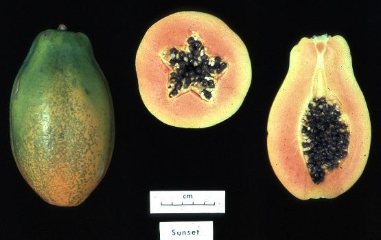 The papaya is an impressive yet low calorie fruit. © DR