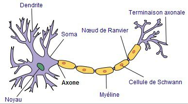 The dendrites are extensions of neurones. © Selket, Wikimedia, CC by-sa 3.0