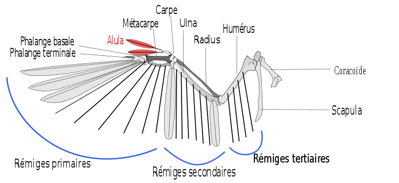 The alula is a fragment of the wing, very useful in flight. © Shyamal, Wikipédia, cc by sa 3.0 - adaptation Toony