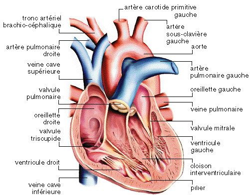 The heart circulates blood in the body, supplying the body with oxygen and nutrients. © www.afblum.be